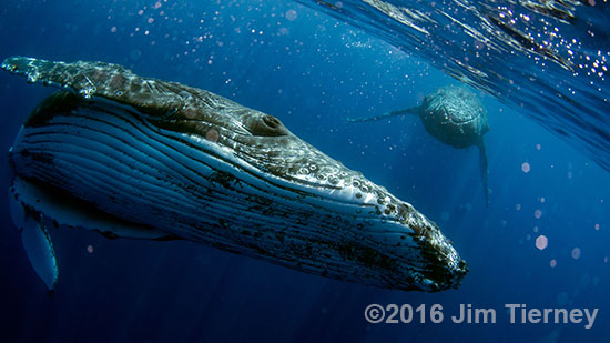 Photographing whales underwater is usually done hanging over the side of a boat.